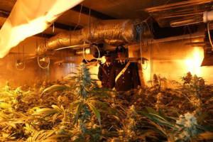droga-locri-piantagione