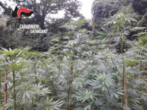 Droga: piantagione canapa indiana scoperta nel Catanzarese