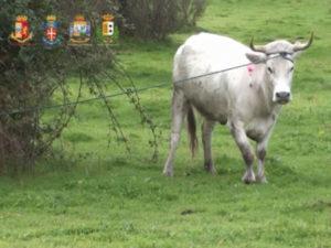 """'Ndrangheta: da inizio anno catturate 183 """"vacche sacre"""""""