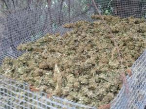 Droga: piantagione scoperta nel Reggino dai Carabinieri