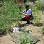 Droga: piantagione scoperta dai carabinieri a Nardodipace