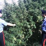 Droga: piantagione sequestrata nel Vibonese, una denuncia