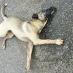 Lamezia: Vescio(Fdi) chiarimenti in riferimento al cane morto