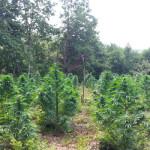 Droga: Gdf scopre piantagione di canapa nel reggino