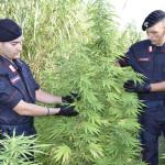Droga: scoperte 900 piante di marijuana nel Cosentino, un arresto