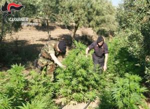 Droga: 3 piantagioni e 25 kg canapa sotto sequestro nel Reggino