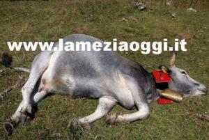 Intimidazioni: 10 bovini uccisi a colpi di fucile nel Catanzarese