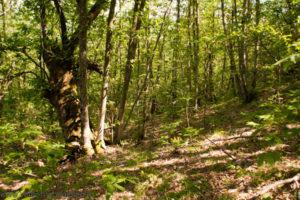 Truffe: Cfs sequestra 40 ettari bosco nel Cosentino, 10 indagati