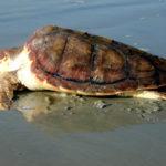 Carcassa di tartaruga spiaggiata sul litorale a Scalea