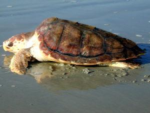 Ambiente: liberate due tartarughe marine recuperate nello Stretto