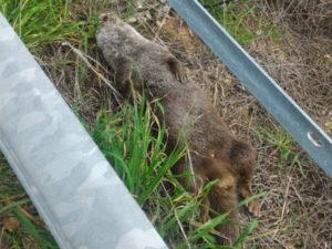 Animali: lontra investita e uccisa a San Marco Argentano