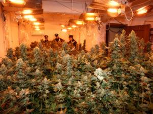 Droga: scoperta piantagione di canapa a Curinga, tre arresti