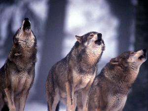 Ambiente: stop abbattimento lupi, Oliverio ringrazia Bonaccini