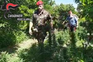 Droga: piantagione canapa indiana sequestrata nel Reggino