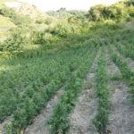 Droga: piantagione di canapa indiana scoperta dai Cc a Siderno