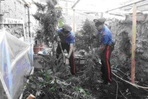 Droga: piantagione di canapa indiana sequestrata a nel Vibonese