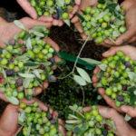 Olivicoltura: Oliverio incontra produttori alla Regione