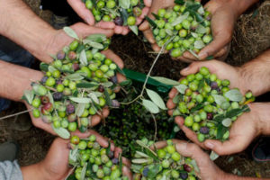 Olivicoltura: Anpa chiede tavolo tecnico alla Regione