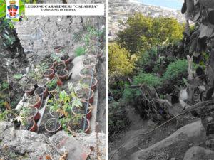 Droga: rinvenuta Nicotera piantagione di canapa indiana