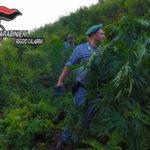 Droga: scoperta piantagione nel Parco dell'Aspromonte