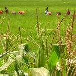 Agricoltura: conclusa campagna pagamenti domanda Unica e PSR