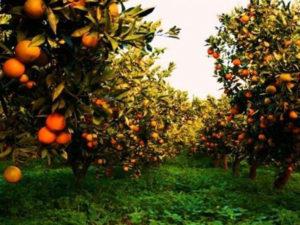 Agricoltura: Coldiretti Calabria bene la legge sugli agrumeti