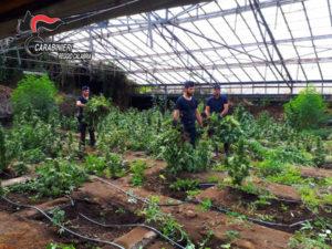 Droga: scoperta nel reggino piantagione di canapa indiana