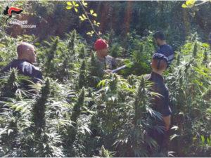 Droga: coltivazione 1.000 piante di cannabis scoperta a San Luca