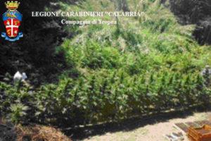 Droga: piantagione di canapa indiana scoperta a Nicotera
