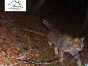 Fototrappole in Aspromonte 'catturano' gatto selvatico
