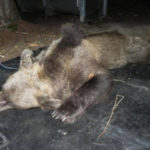 Orsa abbattuta: Enpa, e' stato un crimine, boicottare Trentino