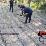 Droga: piantagioni canapa indiana sequestrate nella Locride