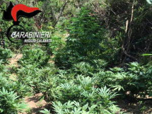Droga: due piantagioni marijuana scoperte dai carabinieri a Locri