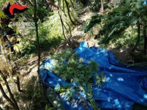 Droga: piantagione con 500 piante di canapa scoperta nel Reggino