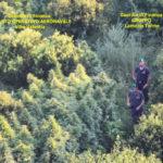 Droga: piantagione canapa indiana sequestrata nel Catanzarese