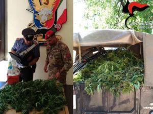 Droga: piantagione scoperta dai Carabinieri a Rizziconi
