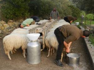 Latte: Coldiretti, sostenere la filiera di quello ovino
