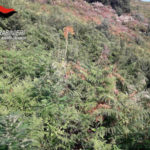 Droga: 250 piante di marijuana scoperte a Nardodipace