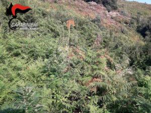 Droga: piantagione di 500 piante di cannabis scoperta nel Reggino