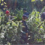 Droga: scoperta piantagione di cannabis nel Reggino