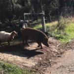 Allarme cinghiali, video ne mostra uno con pecore e agnelli