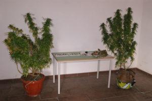 Droga: Coltivava cannabis 28enne arrestato dai Carabinieri