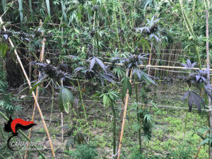 Droga: controlli carabinieri, rivenute 3 piantagioni nel reggino