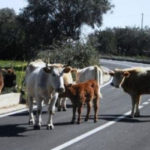 Vacche sacre: domani comitato sicurezza a Cittanova
