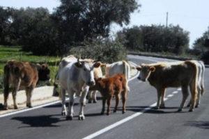 """Vacche sacre: vertice in prefettura a Reggio, """"nuove strategie"""""""