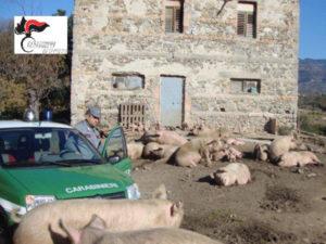 Allevamento semibrado sequestrati 44 suini ad Albi