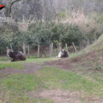 Allevatrice denunciata per pascolo abusivo e abbandono animali