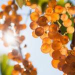 Saracena Wine Festival: Moscato, storia di un vino antico