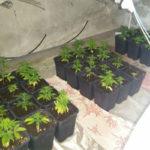 Droga: a casa serra di marijuana, arresto nel Reggino