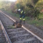 Treno investe cinghiale, rallentamenti su linea ionica Calabria